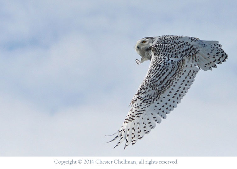 Snowy Owl, photographed by Rick Chellman